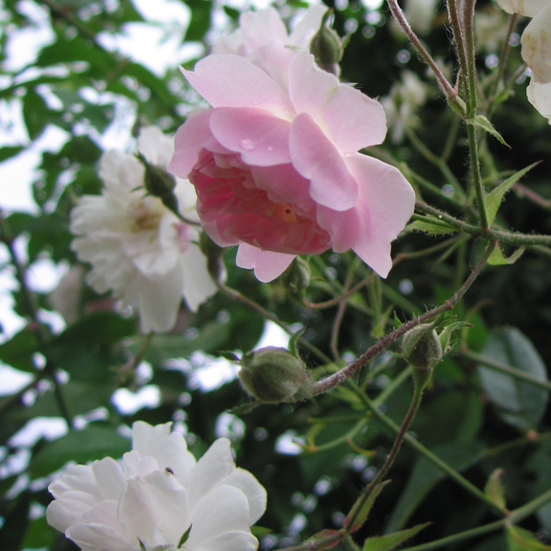 rosier Paul's Himalayan Musk (bouquet)
