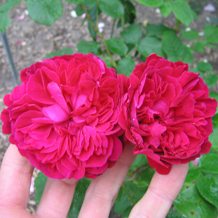 rosier William Shakespeare (2 fleurs)