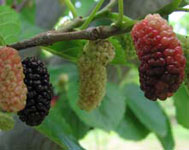 M rier m re - Arbre murier fruit comestible ...