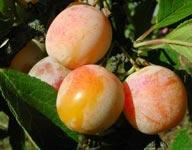 Prunier prune - Prunier mirabelle de nancy ...
