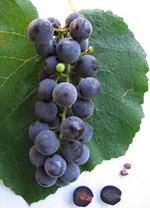 Vigne raisin de table - Taille vigne raisin de table ...